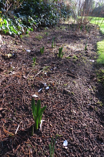 with some Narcissi foliage emerging