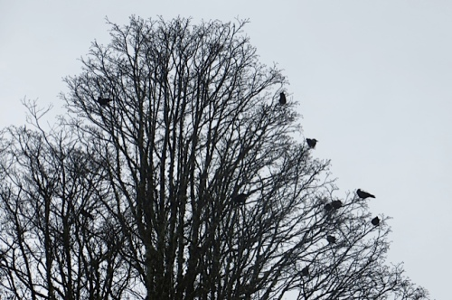 noisy crows gathered in the bogsy wood