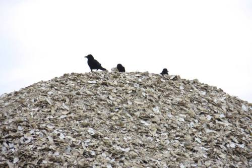 crows atop the oyster pile