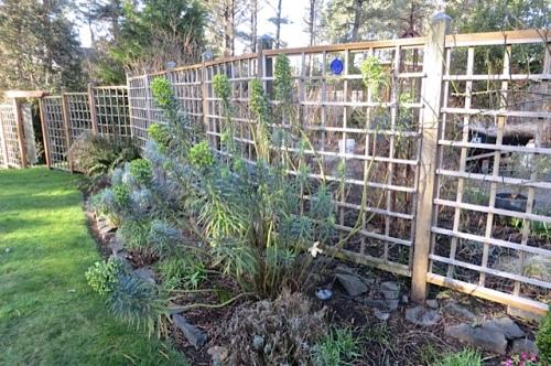 outside the deer fence: Euphorbia characias wulfenii