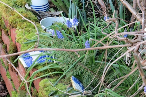and grape hyacinth...this batch bloomed early last year, also.