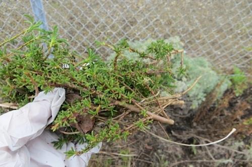 green santolina