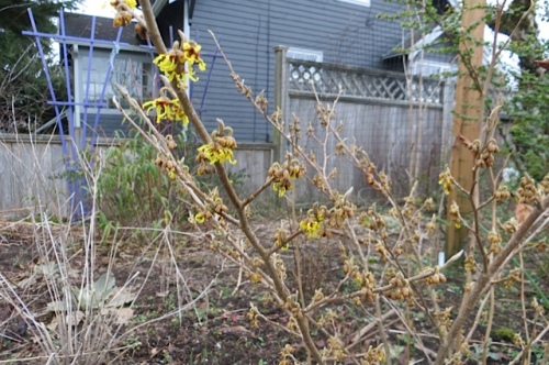 Hamamelis (winter witch hazel, smells like apricots!)