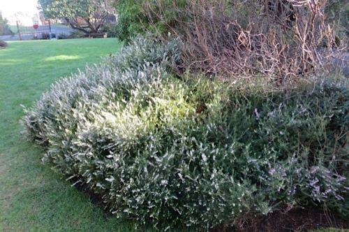 a curve of white heather