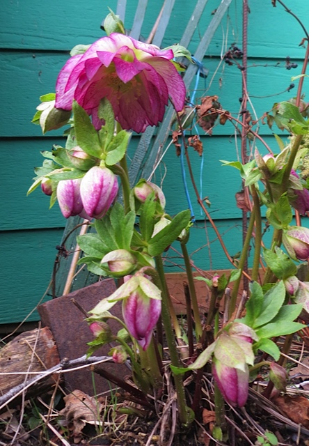 hellebore outside our front door