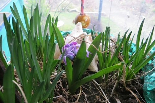 On my sunporch, from a three year old birthday present from The Basket Case Greenhouse, a fragrant hyacinth