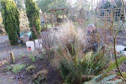 Allan begins the mission of cutting grasses, Sedum 'Autumn Joy', and some sword ferns