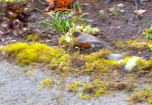 Robins pecked around in the moss.