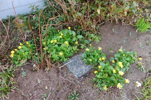 by the office...yellow ranunculus (celandine)