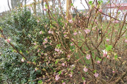 Ribes sanguineum 'Apple Blossom' starting to bloom