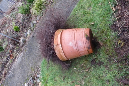 Part of the problem was it had rooted into the ground.