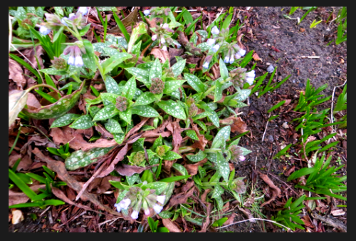 "The first hint of Pulmonaria flowers (aka ""spotted dog"" or lungwort)"