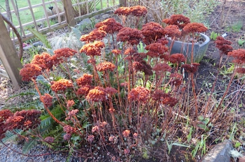 warm tones of Sedum 'Autumn Joy' dead flowers...before the chop.