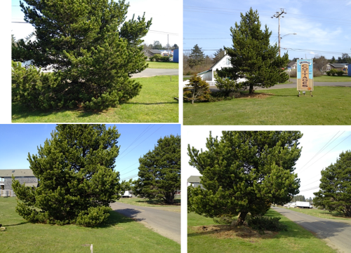 tree before and after, with pile of branches behind