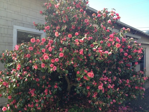 camellia against the café wall