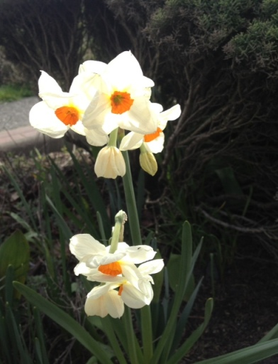 I especially like Narcissi with very small cups.