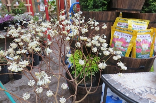 and I got myself this Edgeworthia papyrifera