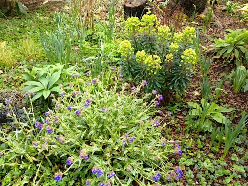 Pulmonaria backed with Euphorbia