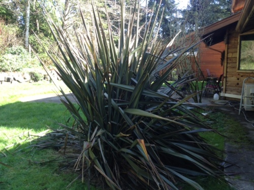 truly hideous Phormium (New Zealand Flax( near the house