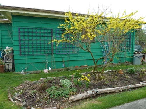 Forsythia pops against the garage wall at home.