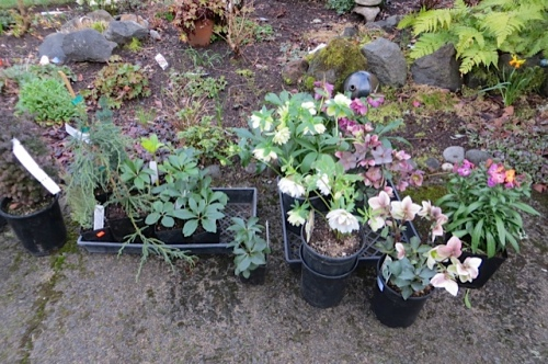 Hellebores small (very collectible) and large