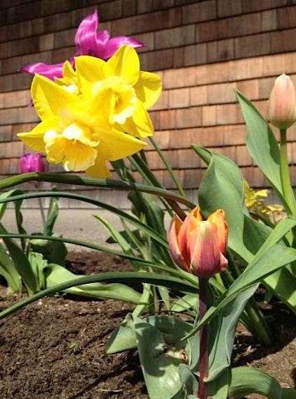 Narcissi and Tulip 'Princess Irene'