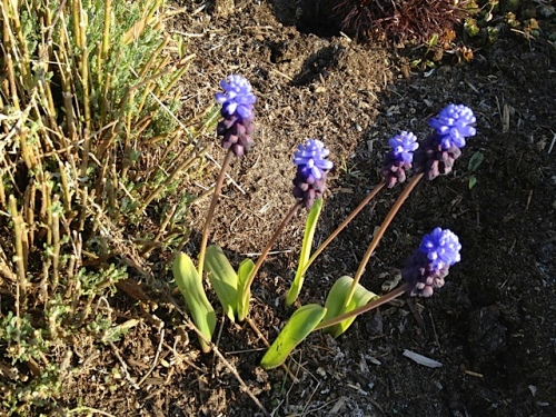 Andersen's: Muscari latifolium