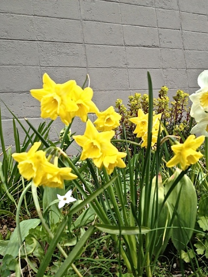 post office Narcissi