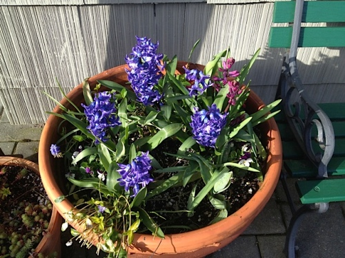 fragrant Hyacinths by the office door