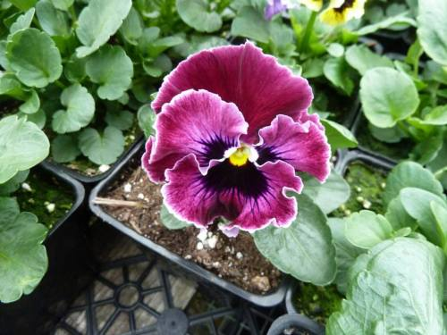 and yet the pansies have such expressive faces!