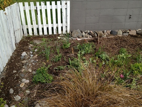 while I planted sweet peas along the picket fence and hoped they'd do better than last year (when I got bupkis)