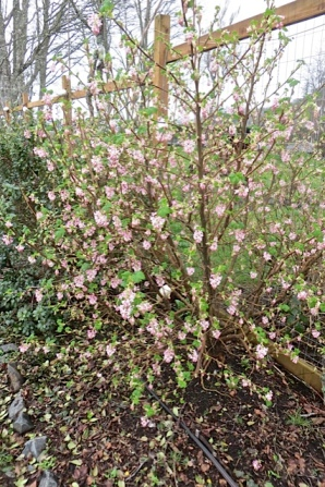 The pink flowering currant in the back garden would have looked good under that tree...