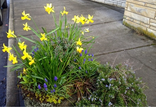 This was the first planter to start blooming with narcissi a couple of weeks ago or more and is still going strong.