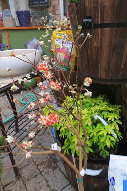 I think I got the only one of this colour:  Edgeworthia chrysantha Rubra
