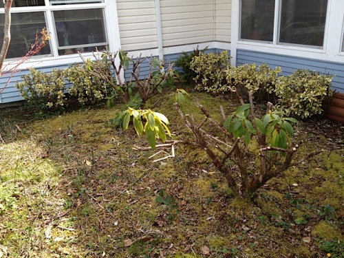"Rhodos pruned last fall before I cried ""Stop!"""