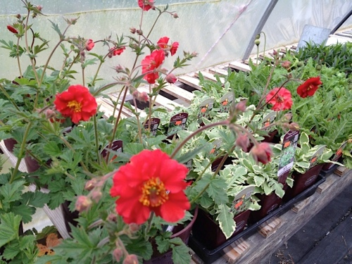 Geum 'Sangria'...I even took a photo for the Basket Case Facebook page!
