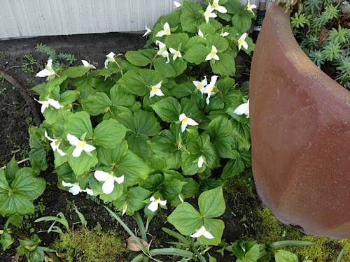 a well established patch of Trilliums at The Anchorage