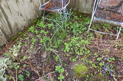 "lots of annoying weeds...here, the one we call ""stinkmint""."