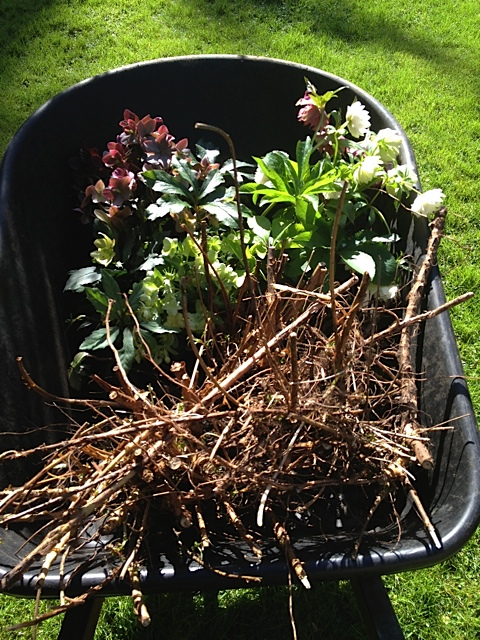 wheelbarrow of Hellebores and Fuchsia starts