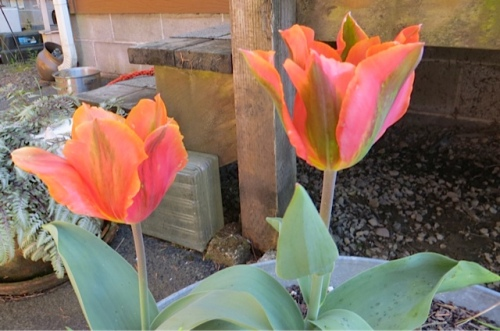 Tulip 'Artist', brighter than I expected