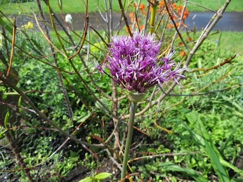 By our driveway, an allium emerging