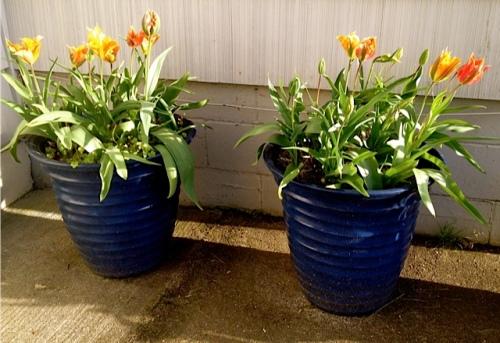 Andersen's tulips