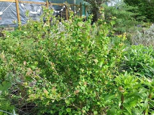 must find name of this barberry I got from Dancing Oaks in 2008...get better pic...email it to them for ID