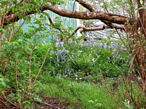 bluebell woods outside the fence...created with bulbs everyone wants to get rid of.