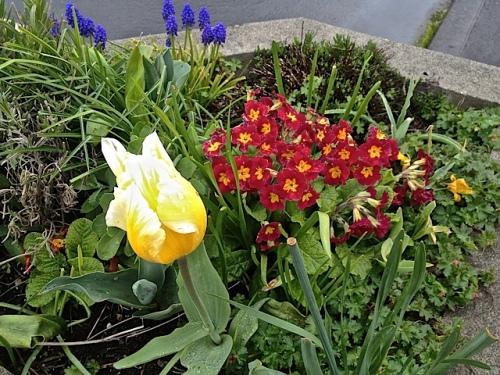 tulip bud, primroses, muscari