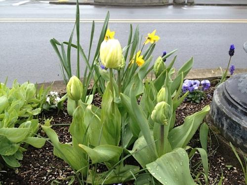 Long Beach: tulip buds full of promise