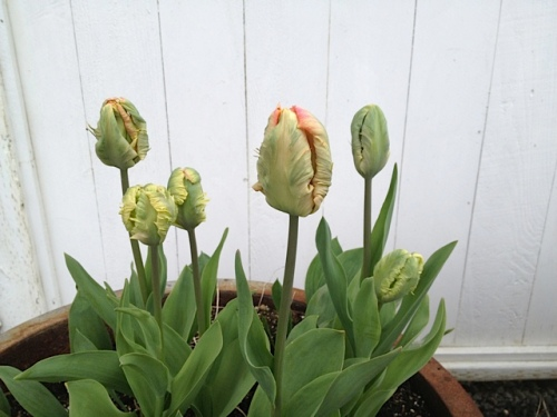 tulip buds by the office