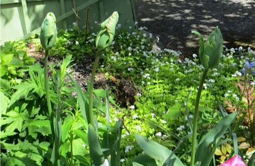 still more tulips coming on, an another groundcover that annoys me in its lust for space: sweet woodruff