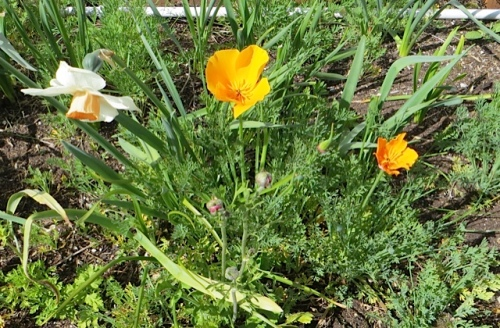 In the Payson Hall planters, the first California poppies of the season (volunteers)