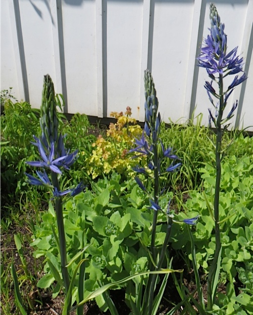 In a damp corner:  Camassia.  With one flower stem broken off, I hope by wind and not fingers.